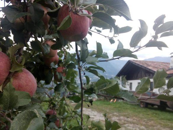 Maças estão sendo plantadas em grande escala em Tirol e pelos dias ensoleradas e o clima quente são muito gostoso mesmo.